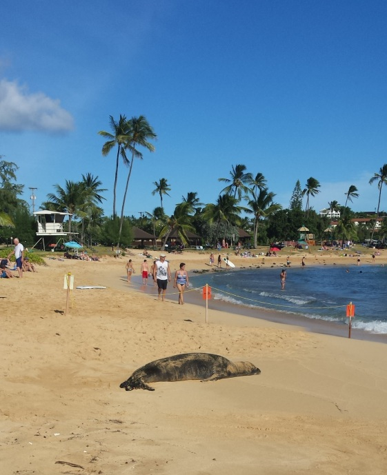 Monk seal at Poipu Beach